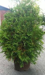 Cèdre noir - Thuya occidentalis nigra